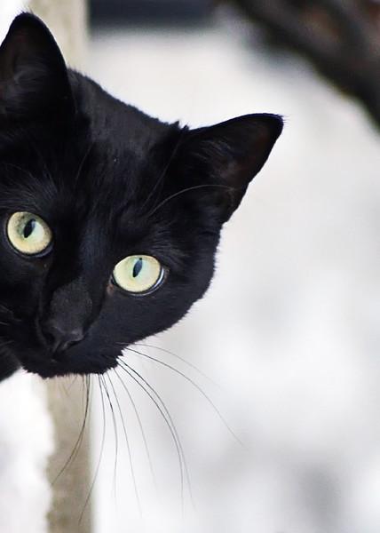 Заводить черного кота или нет
